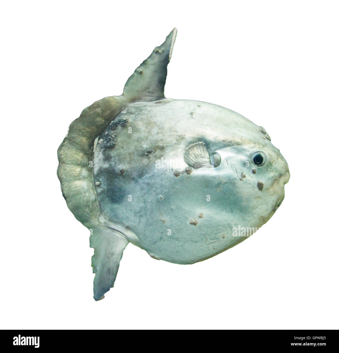 Blue Sunfish Stock Photos & Blue Sunfish Stock Images