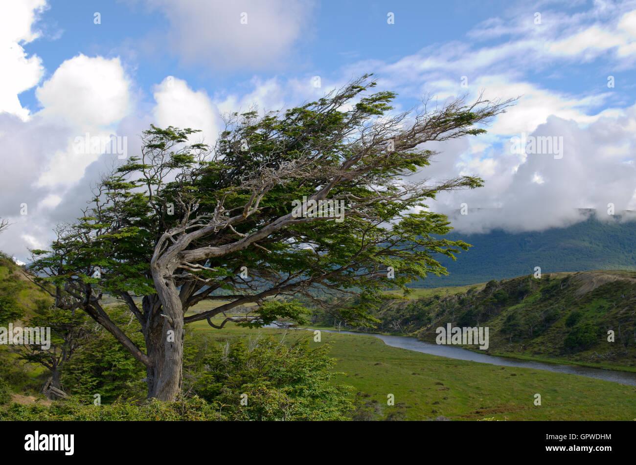 Wind-bent tree in Fireland (Tierra Del Fuego), Patagonia, Argent - Stock Image