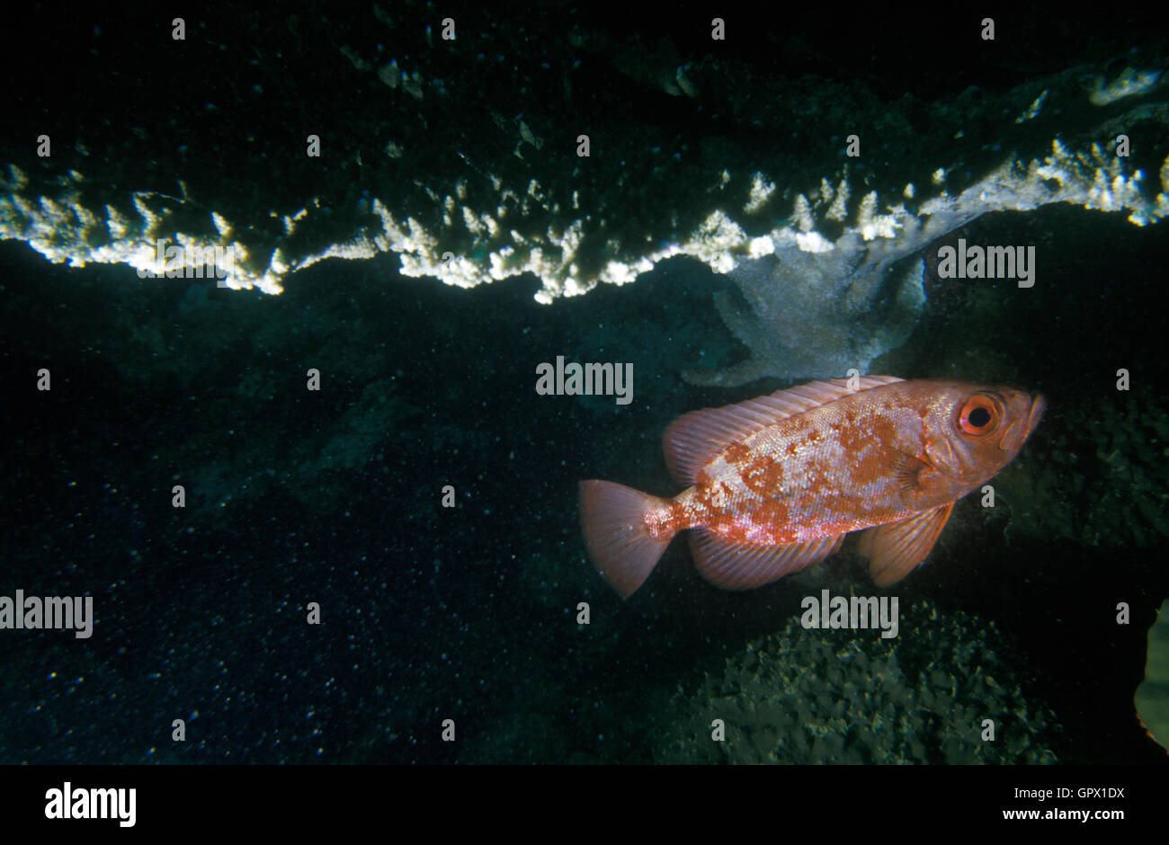 Paeony bulleye, Priacanthus blochii. Hide under Acropora coral table. Gulf of Adan, Djibouti - Stock Image