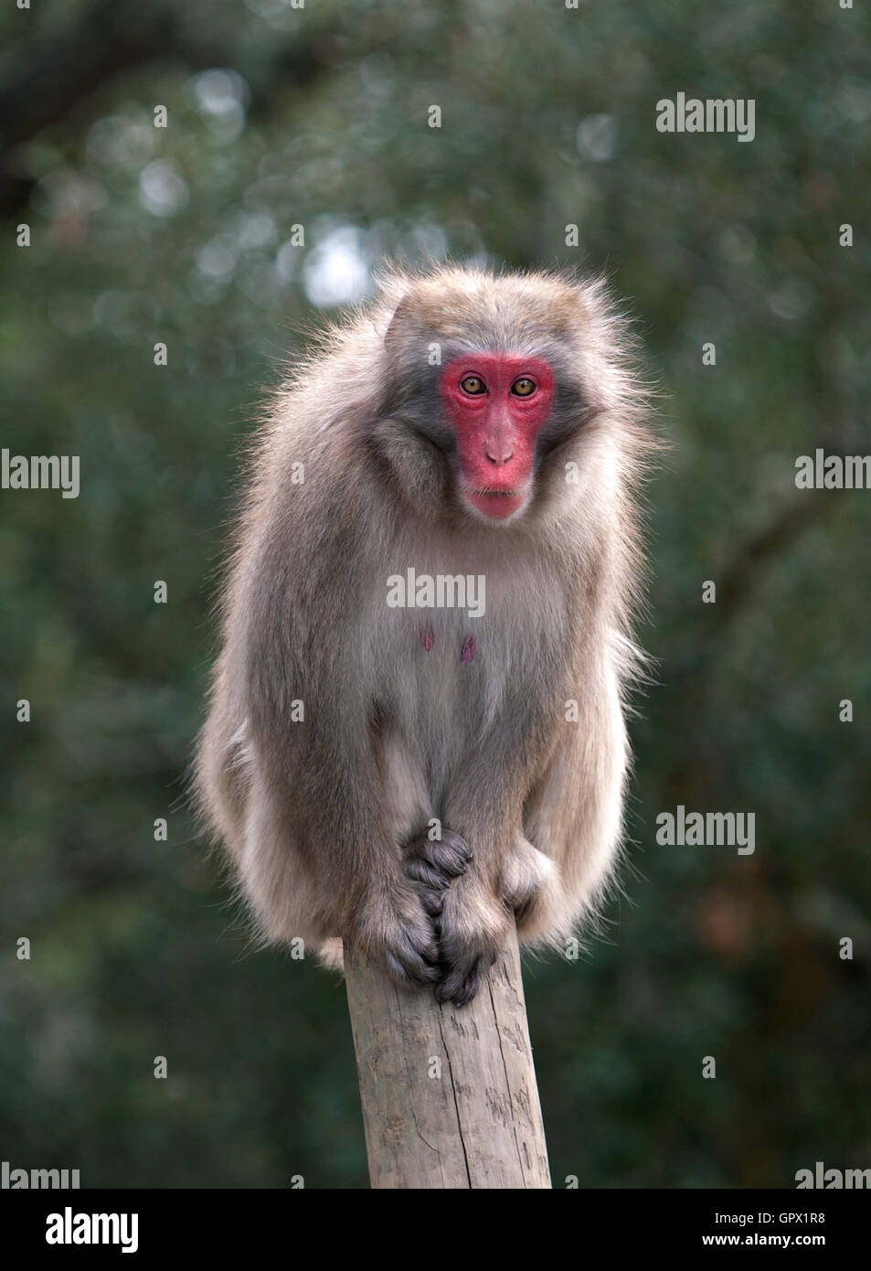Japanese macaque, Macaca fuscata. Zoological Park. Portugal Stock Photo