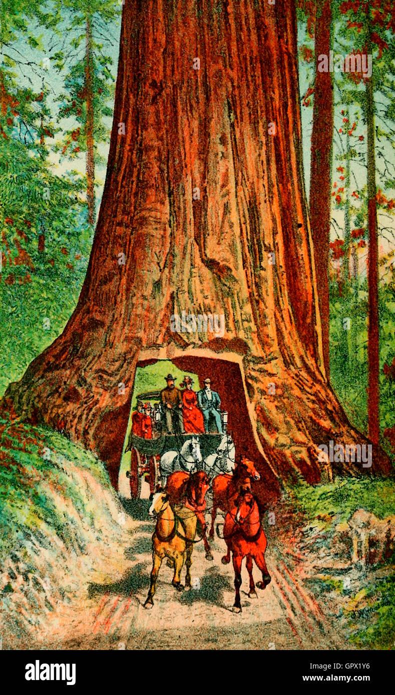 Big Tree Wawona, circa 1880. The Wawona Tree, also known as the Wawona Tunnel Tree, was a famous giant sequoia that - Stock Image