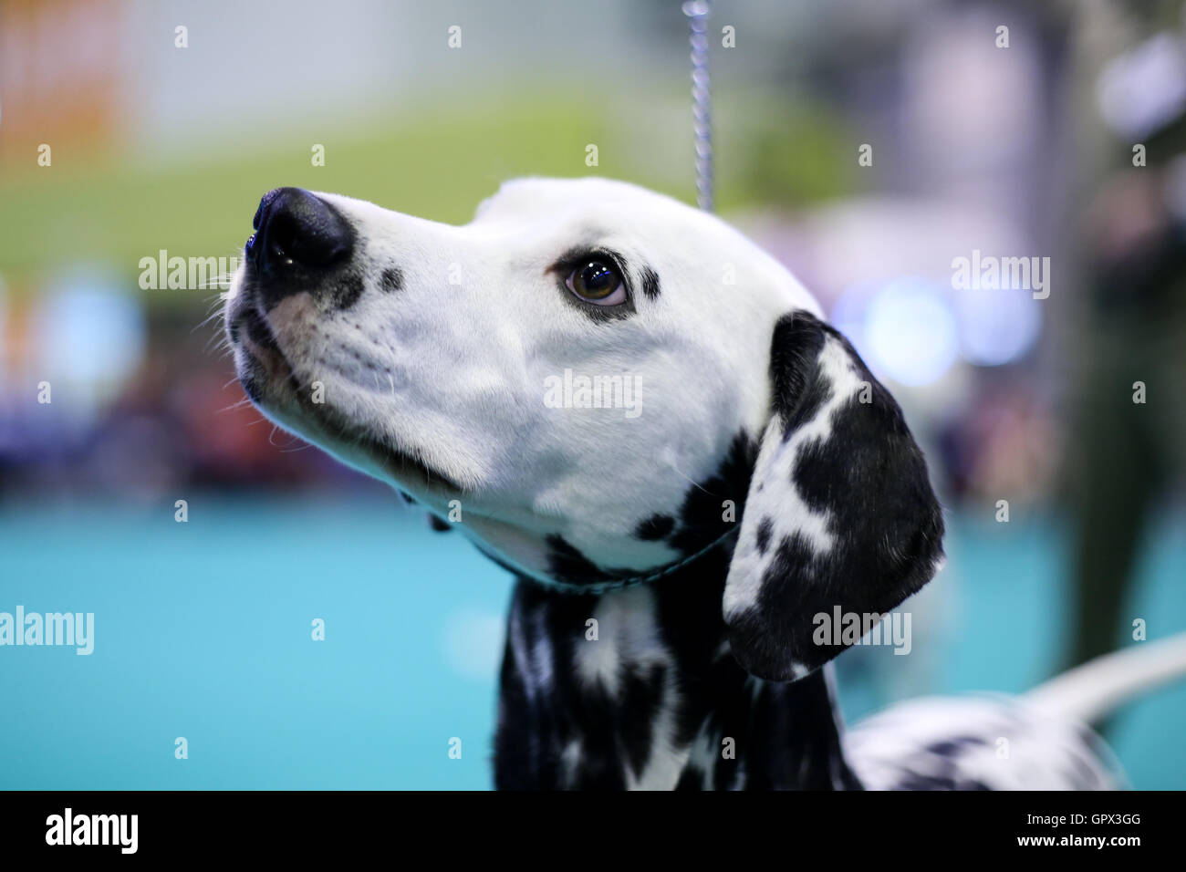 A Dalmatian at Crufts 2016 held at the NEC in Birmingham, West Midlands, UK. - Stock Image