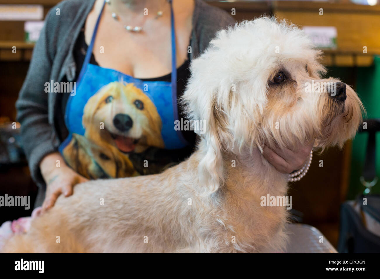 A woman with her Dandie Dinmont Terrier at Crufts 2016 held at the NEC in Birmingham, West Midlands, UK. The world's - Stock Image