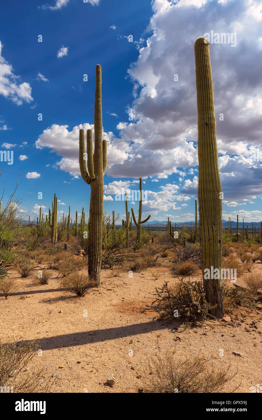 Saguaro National Park, Arizona, USA - Stock Image
