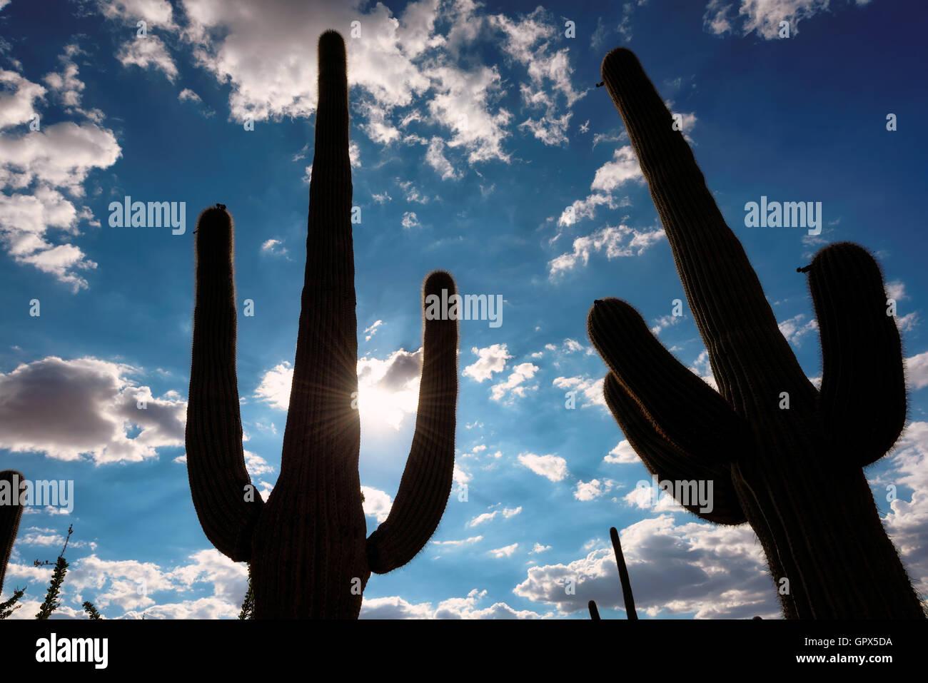 Saguaro cactus silhouette, backlit by the sun - Stock Image