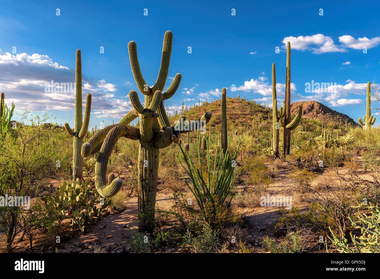 Cactus Garden at Saguaro National Park - Stock Image