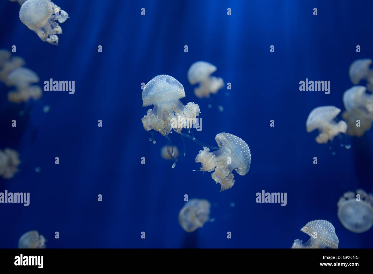 medusa jellyfish underwater diving photo egypt red sea - Stock Image