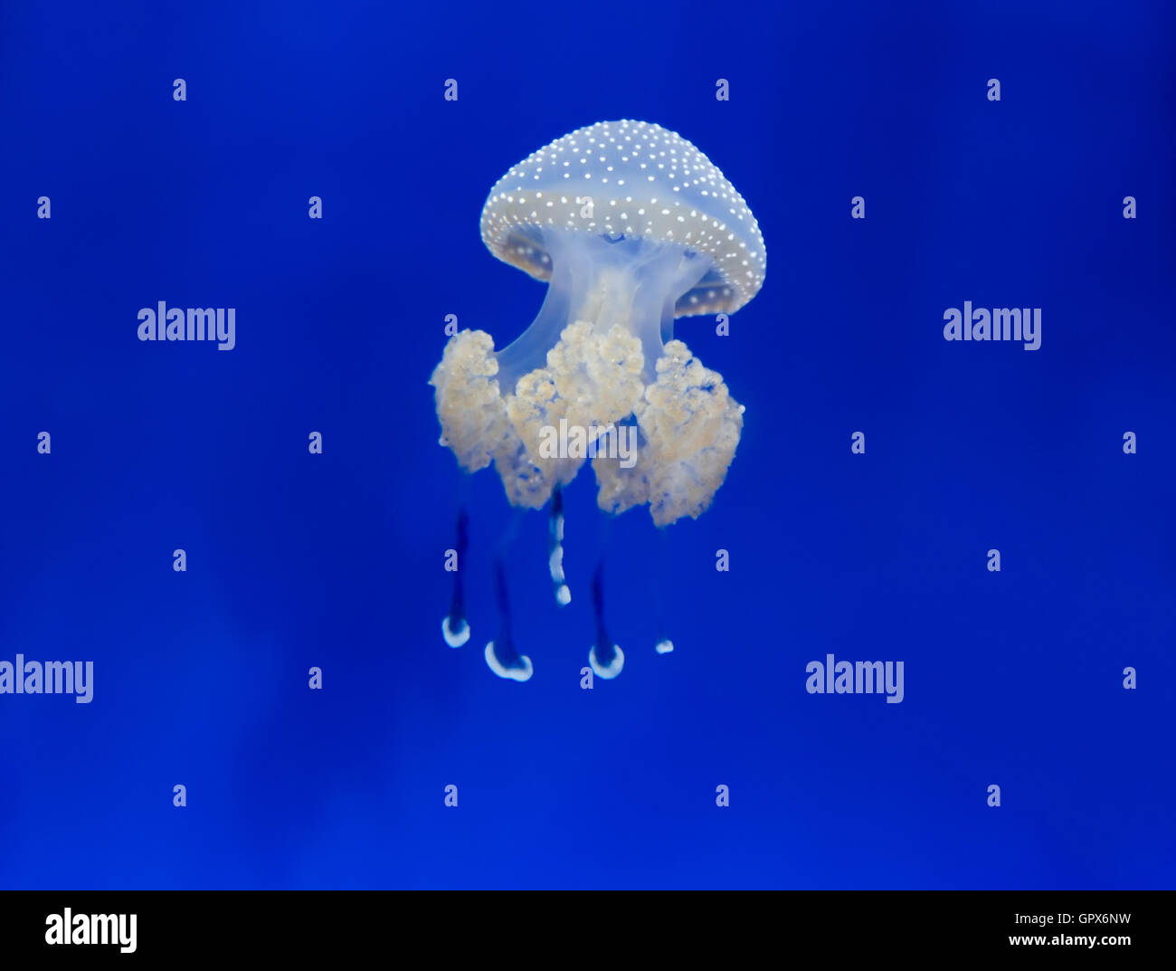 medusa jellyfish underwater diving photo egypt red sea Stock Photo