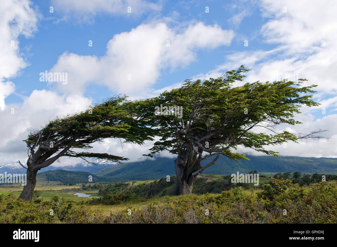 Wind-bent trees in Fireland (Tierra Del Fuego) - Stock Image