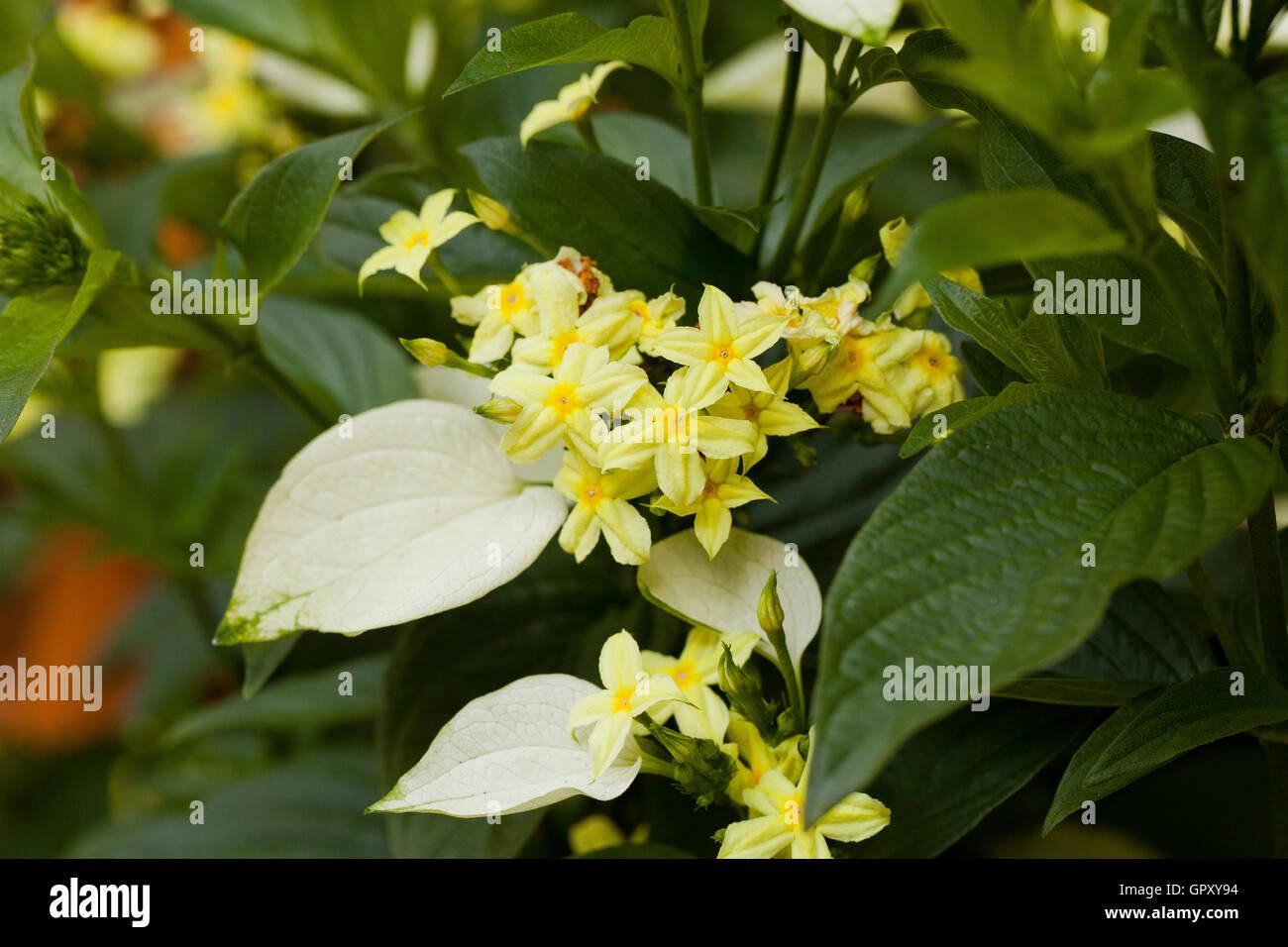 Dwarf Mussaenda plant flowers (Mussaenda glabra) - USA - Stock Image