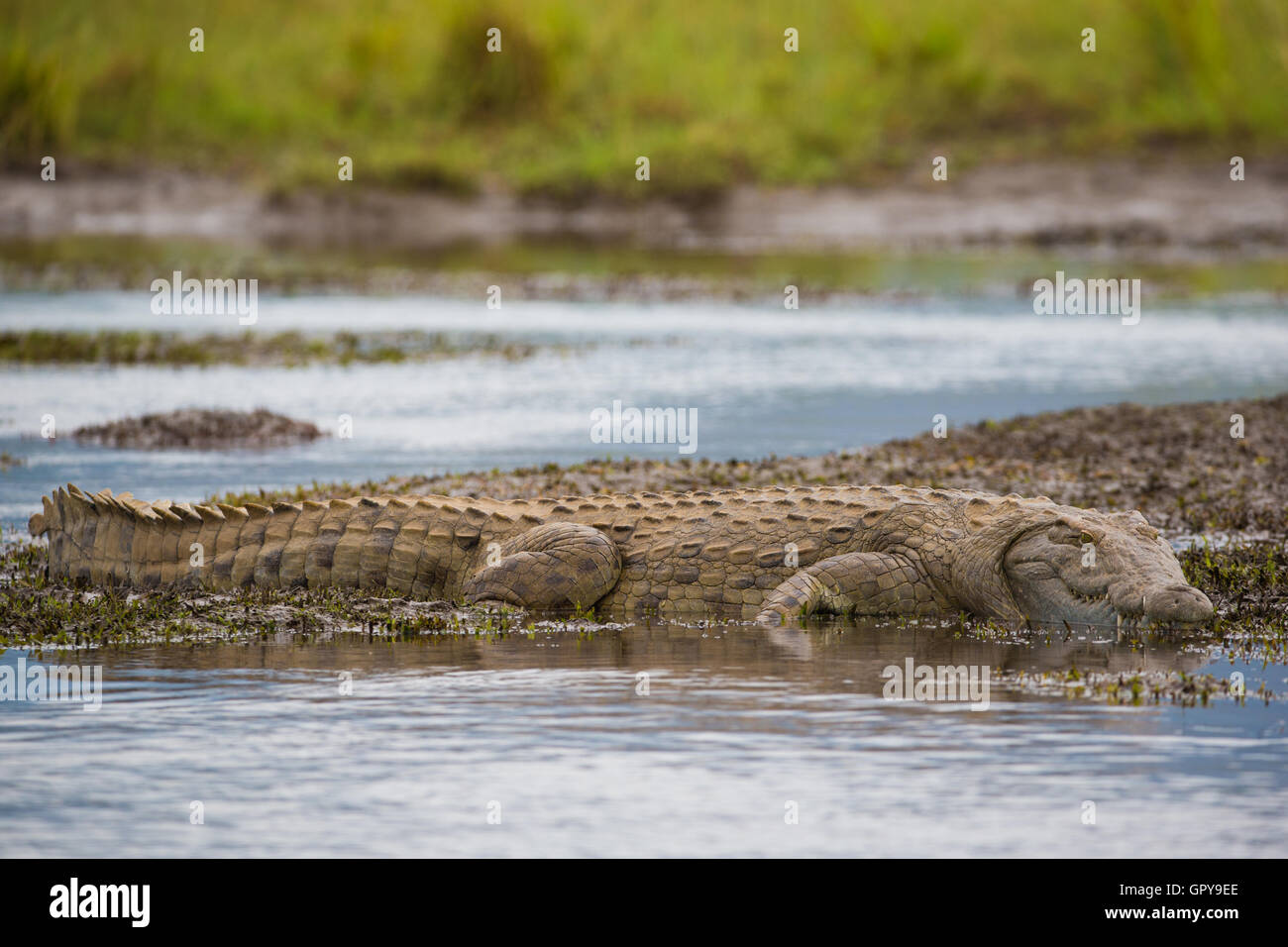 Side view full length Nile Crocodile lying on the edge of the water - Stock Image