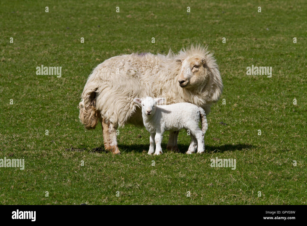 Ewe and young lamb in a sunlit field - Stock Image