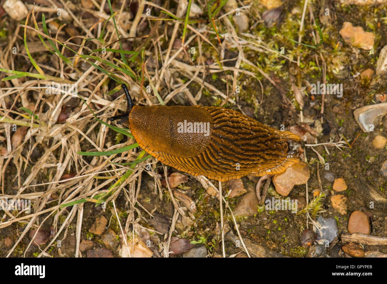 Arion vulgaris, or Spanish Slug on a woodland ride in North Norfolk. - Stock Image
