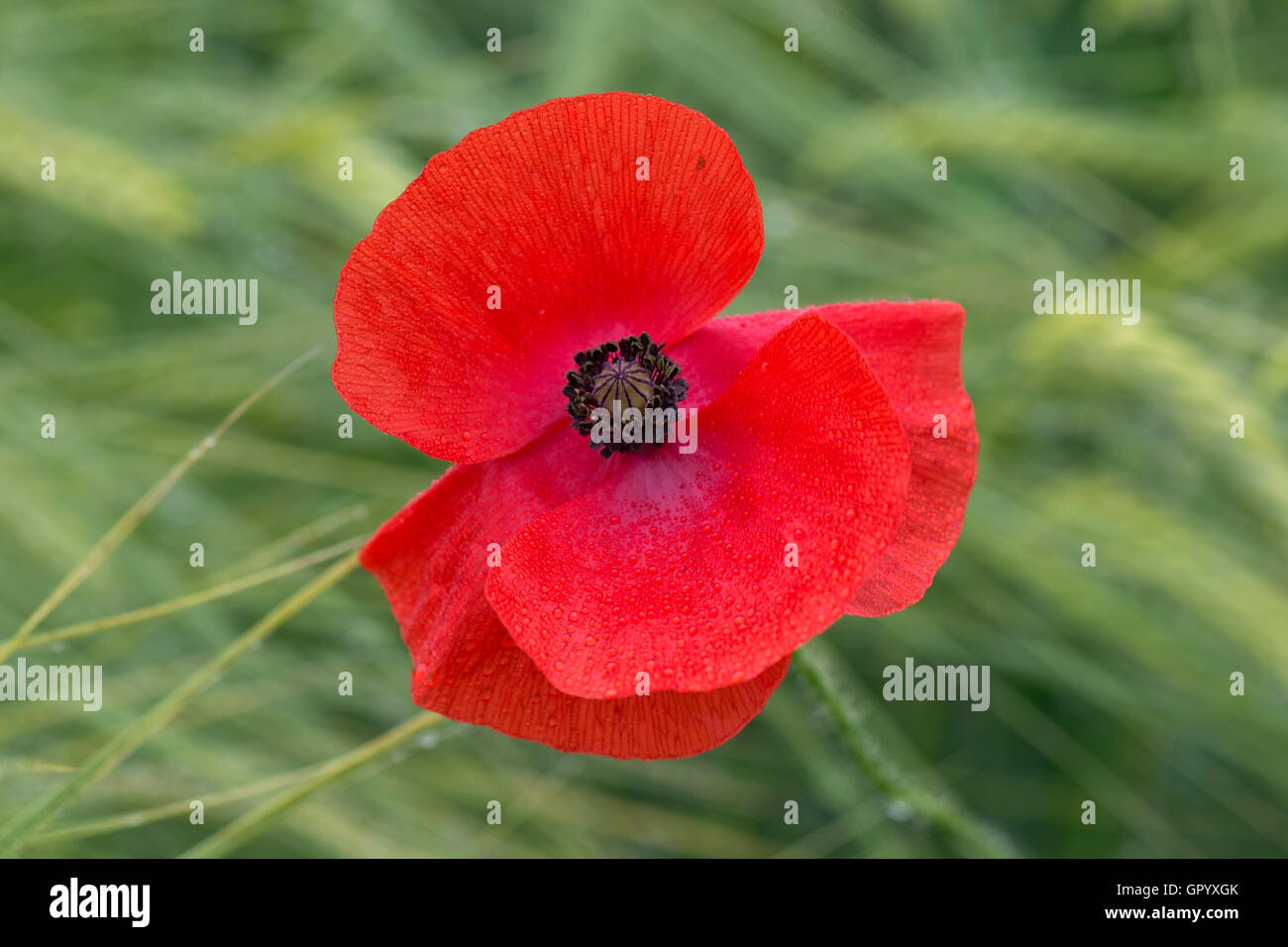 A single corn poppy, Papaver rhoeas, flowering above a crop of barley in green ear on a wet day. Stock Photo