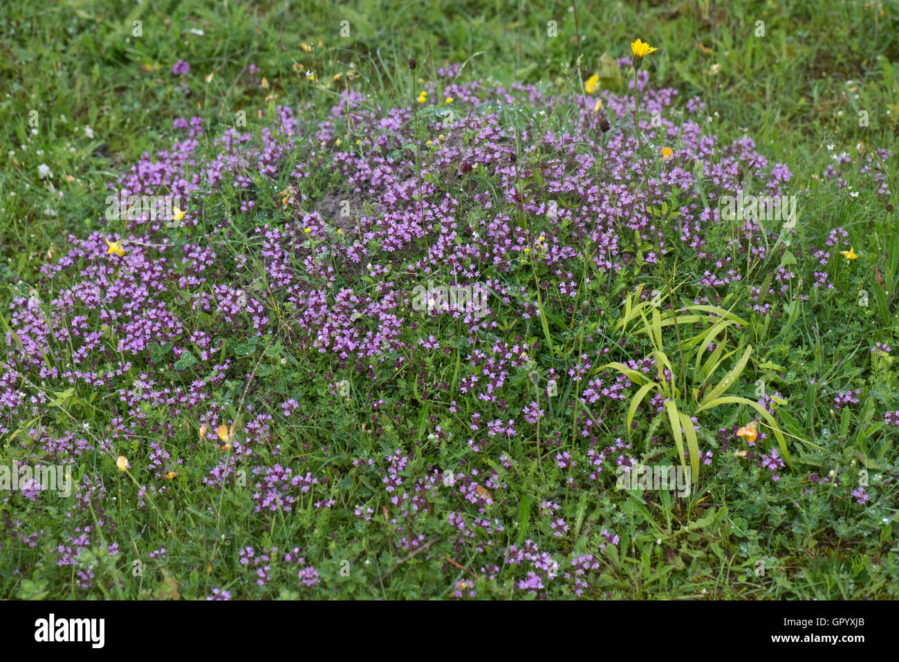 Wild thyme, Thymus serpyllum, flowering on the floor of a disused chalk quarry on a rainy day, June - Stock Image
