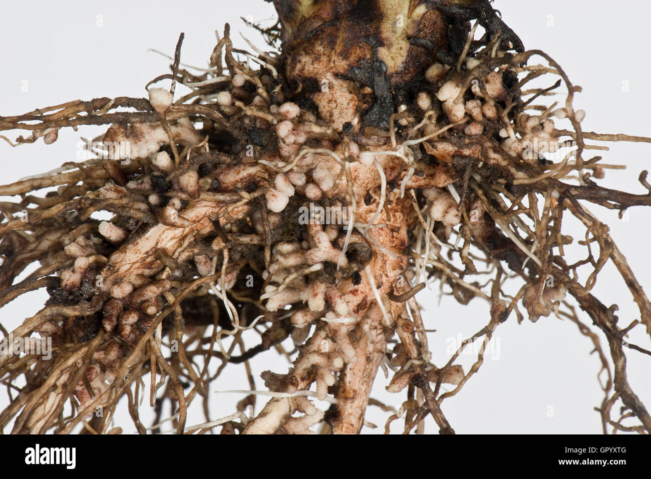 Root nodules for nitrogen fixation formed by Rhizobium bacteria on the roots of a broad bean plant - Stock Image