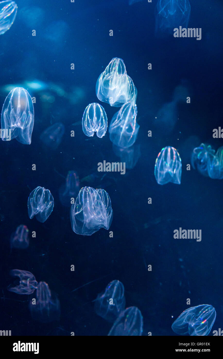 Japan, Osaka Aquarium, Kaiyukan. Interior. Self-illuiminating jellyfish, swimming and flashing pulsating coloured Stock Photo
