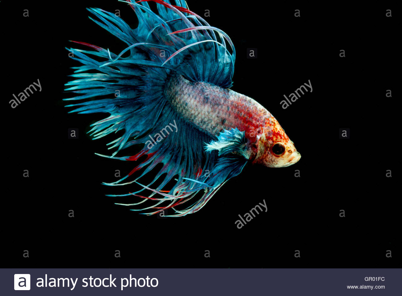 Betta fish Crown tail or Siamese fighting fish on black background - Stock Image