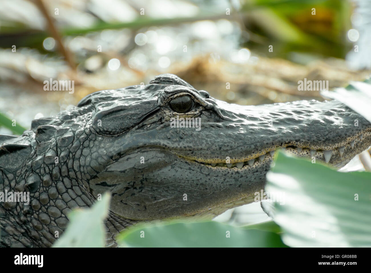 This is a shot of an Alligator n the marsh at the edge of Lake Tohipekaliga Kissimmee Florida on 23 December 2015 - Stock Image