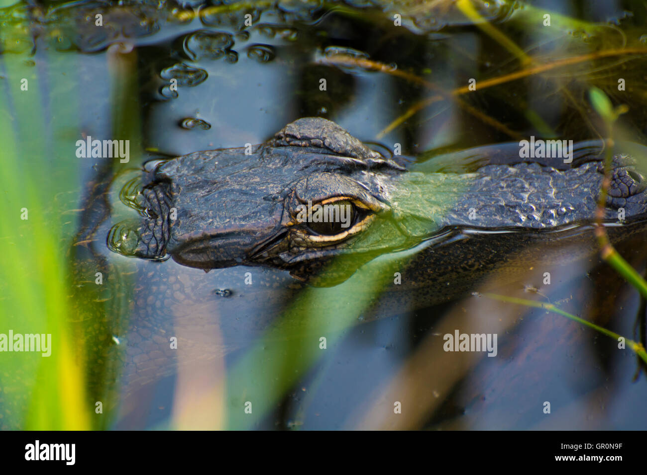 This image shows an Alligator cooling off submerged in swamp water. - Stock Image
