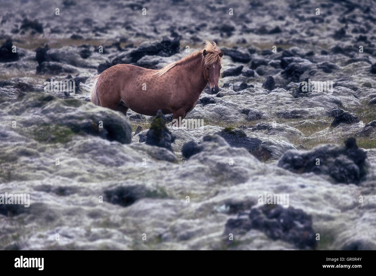 an Icelandic horse in a lava field - Stock Image