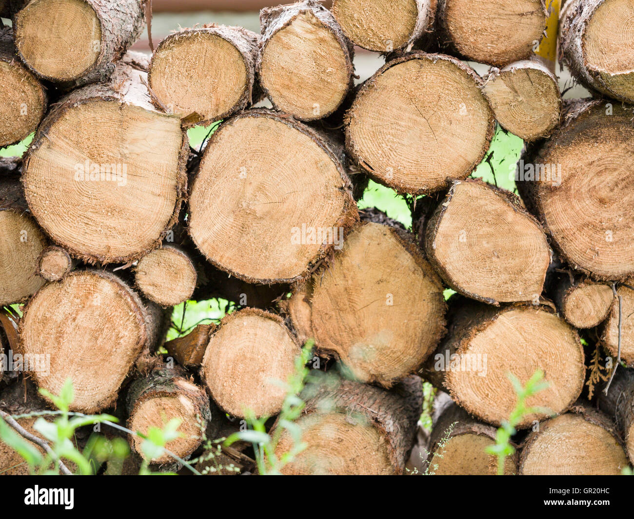 Freshly cut Firewood piled high. Logs from a freshly cut tree piled up for drying. - Stock Image