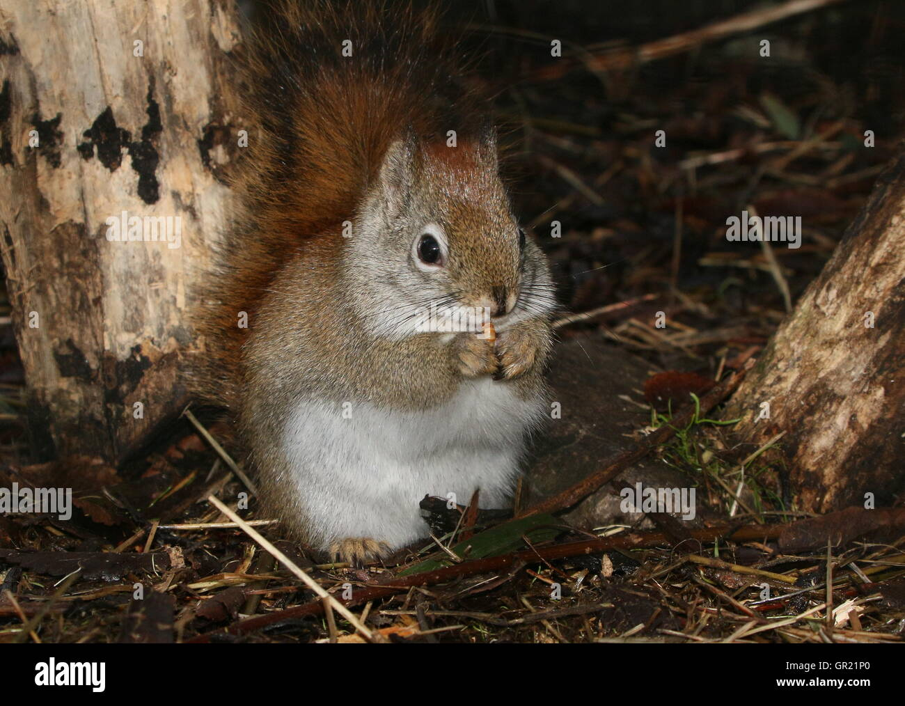 North American  Red Squirrel (Tamiasciurus hudsonicus) - Stock Image