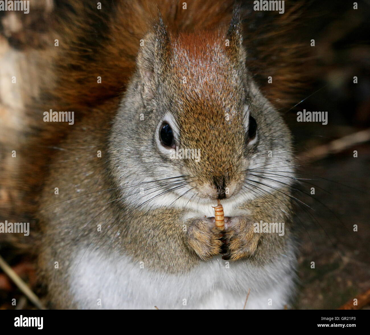 North American  Red Squirrel (Tamiasciurus hudsonicus) eating a grub held in his paws - Stock Image