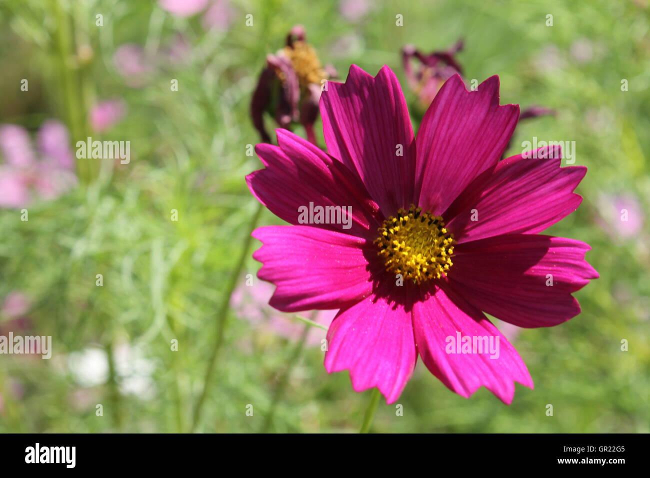 Closeup of a magenta flower in a prairie preserve - Stock Image