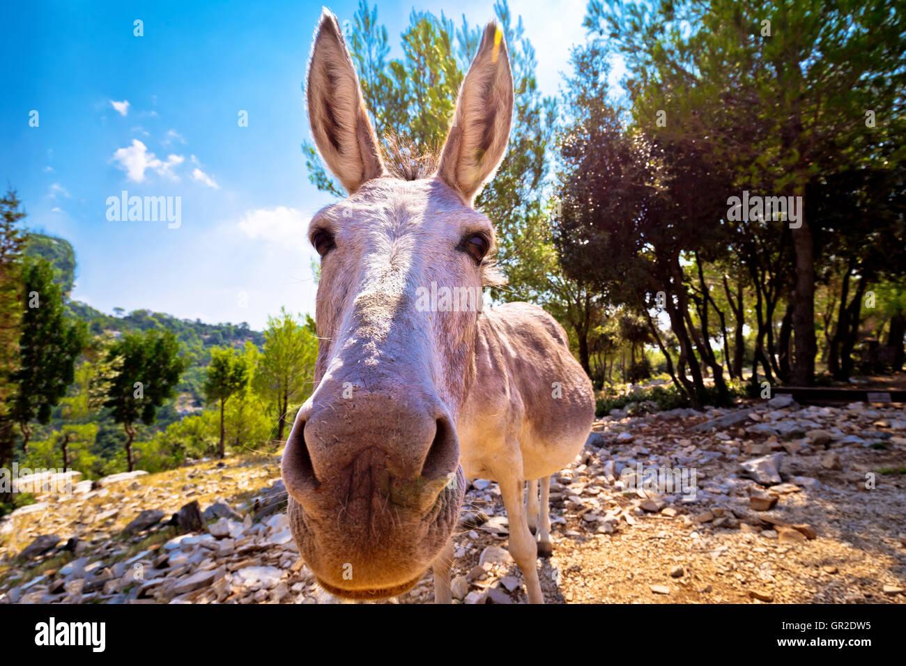 Dalmatian island donkey in nature, animal in the wild, Croatia - Stock Image