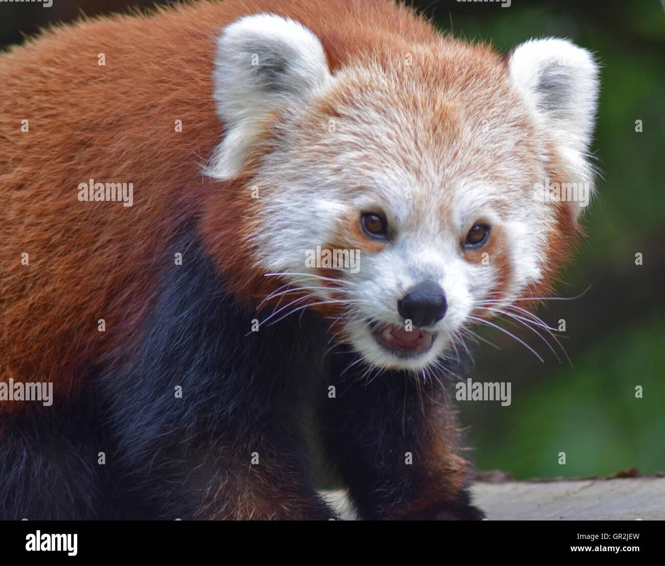 Red Panda - Highland Wildlife Park Stock Photo
