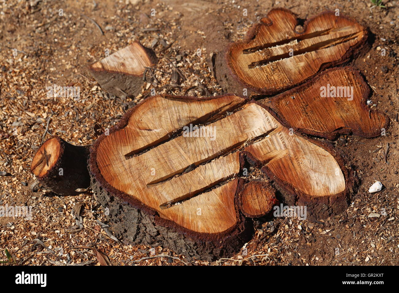 Cut Off Trees. Chopped trees with deep cracks. Group of cut off trunks of trees in the field. - Stock Image