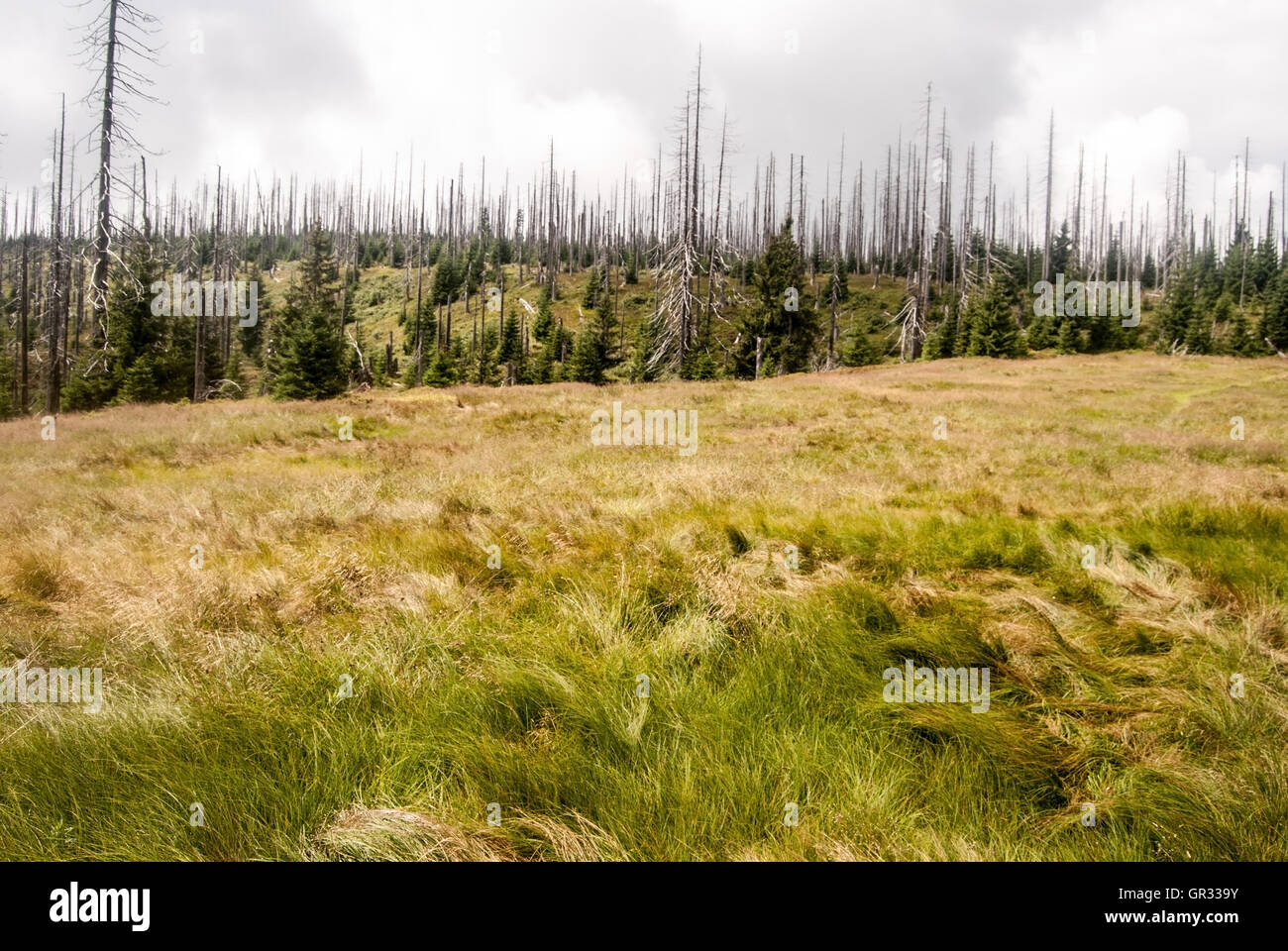 Kirchlinger Stand mountain meadow with forest devastated by bark beetle infestation bellow Steinfleckberg in Bavarian - Stock Image