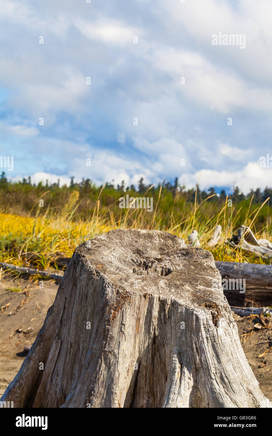 Base of a weathered Western Red Cedar tree washed up on a beach Stock Photo