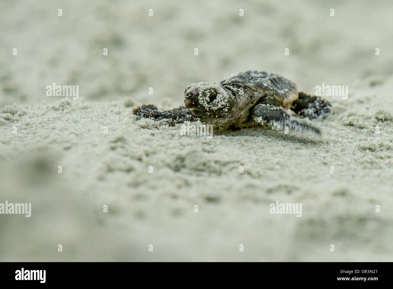Baby Loggerhead turtle hatching - Caretta caretta | North Carolina - Sunset Beach | Endangered young turtles climb Stock Photo