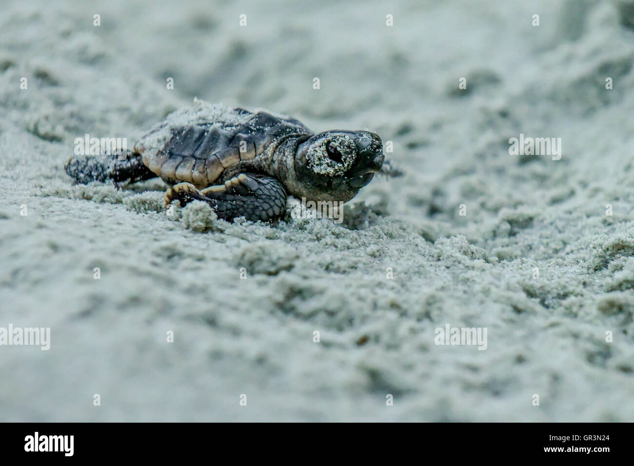 Baby Loggerhead turtle hatching - Caretta caretta | North Carolina - Sunset Beach | Endangered young turtles climb - Stock Image