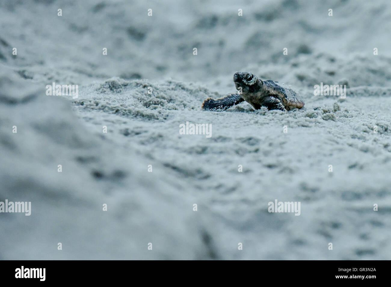 Baby Loggerhead turtle hatching - Caretta caretta | North Carolina - Sunset Beach | Endangered young turtles climb - Stock Image