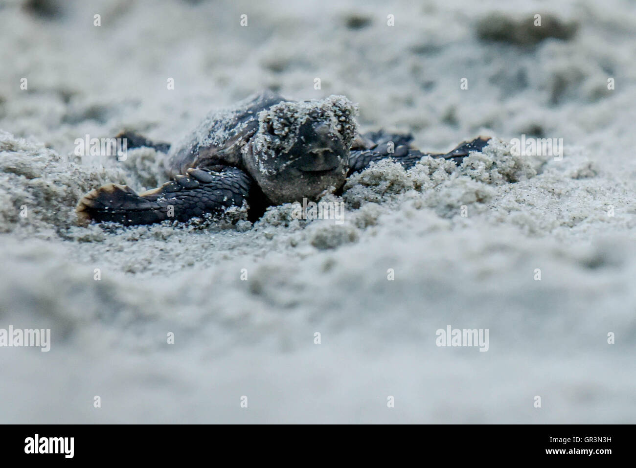 Baby Loggerhead turtle hatching - Caretta caretta   North Carolina - Sunset Beach   Endangered young turtles climb - Stock Image