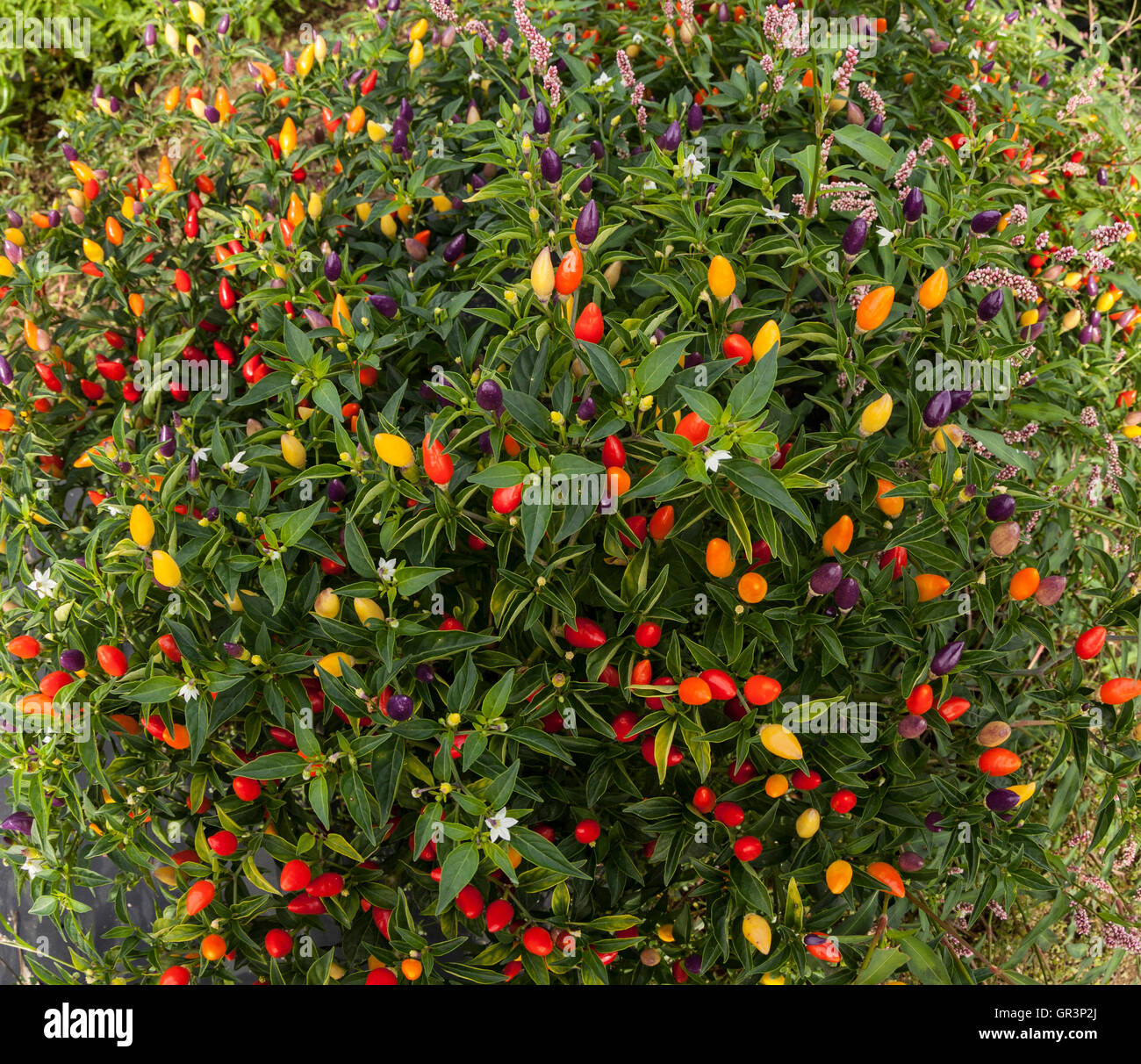 Ornamentals peppers - Stock Image