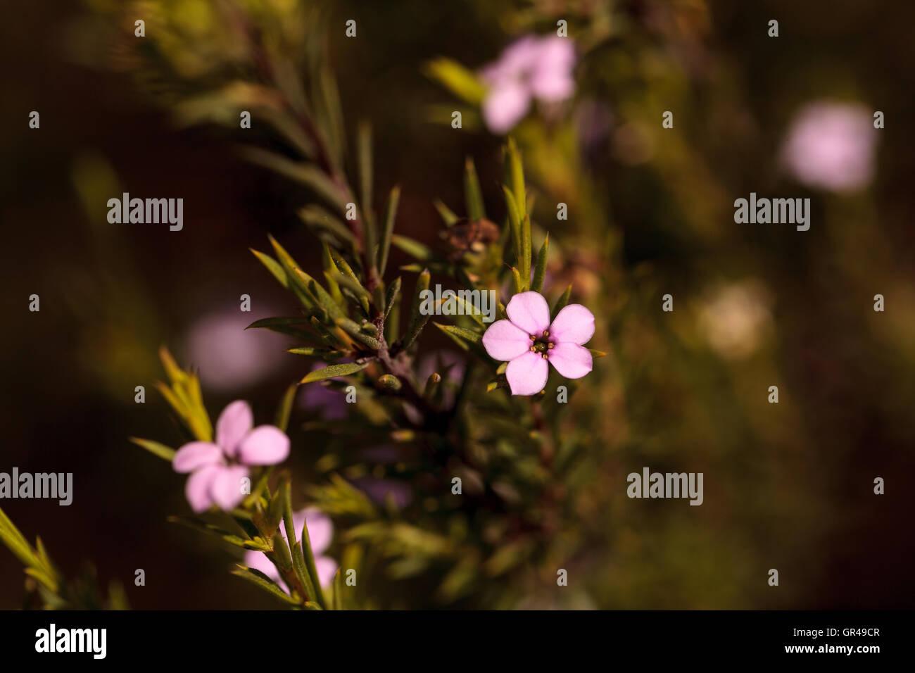 Tiny pink flowers on a leptospermum tea tree bush growing in a stock tiny pink flowers on a leptospermum tea tree bush growing in a botanical garden in summer mightylinksfo