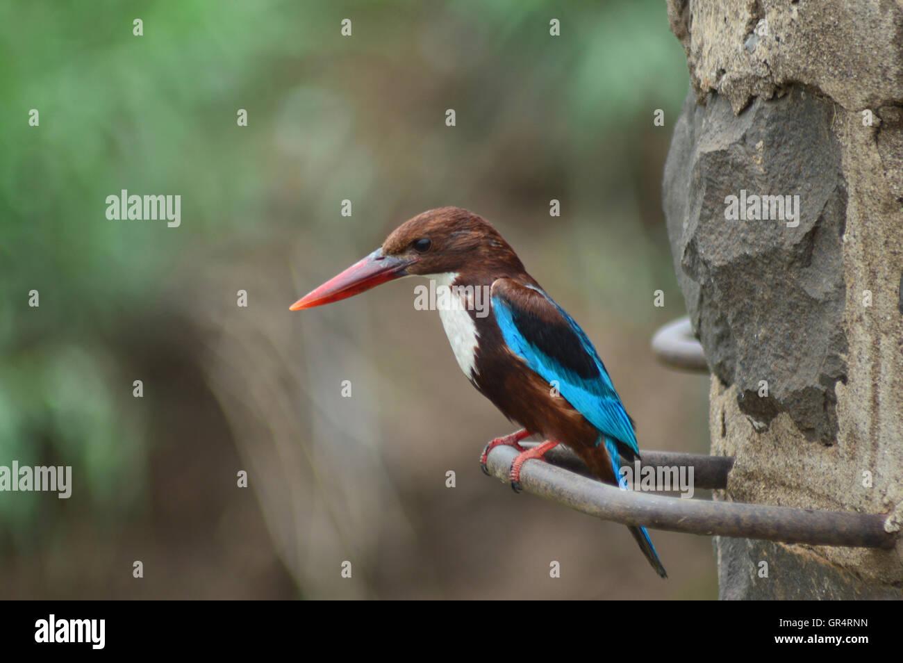 The White-throated Kingfisher, Halcyon smyrnensis also known as the White-breasted Kingfisher or Smyrna Kingfisher, - Stock Image