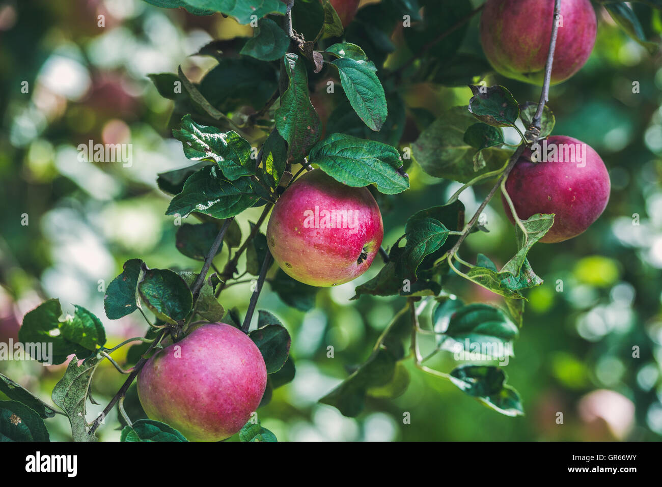 Fresh harvest apples on tree branch in garden - Stock Image