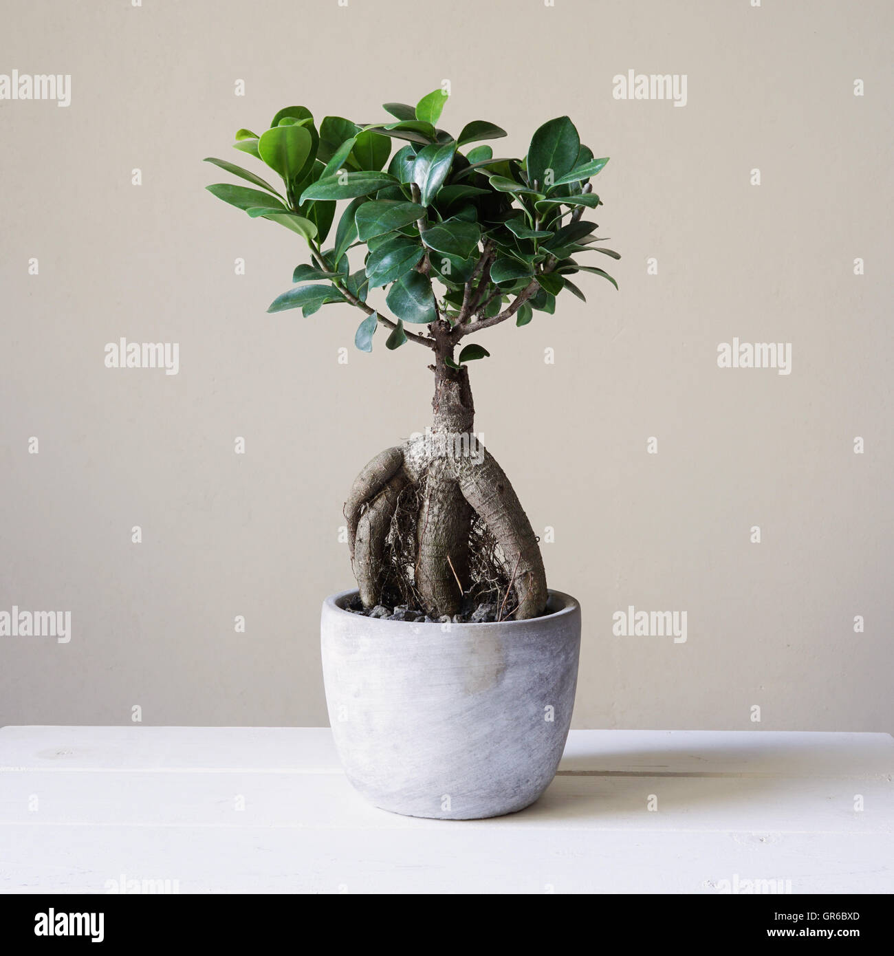 Ficus plant indoor stock photos ficus plant indoor stock - Bonsai zimmerpflanze ...
