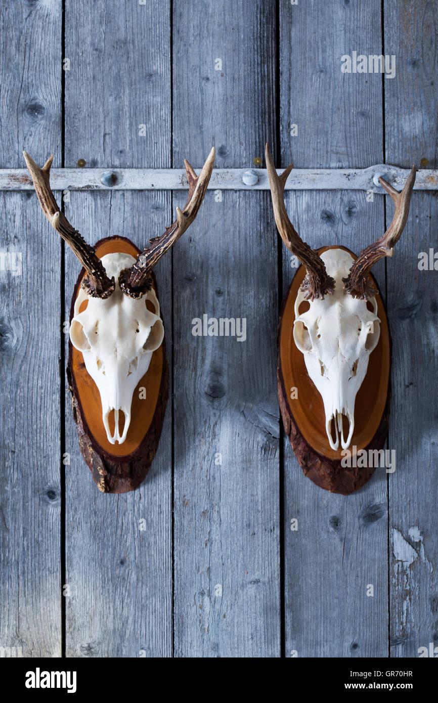 Roebuck Antlers - Stock Image