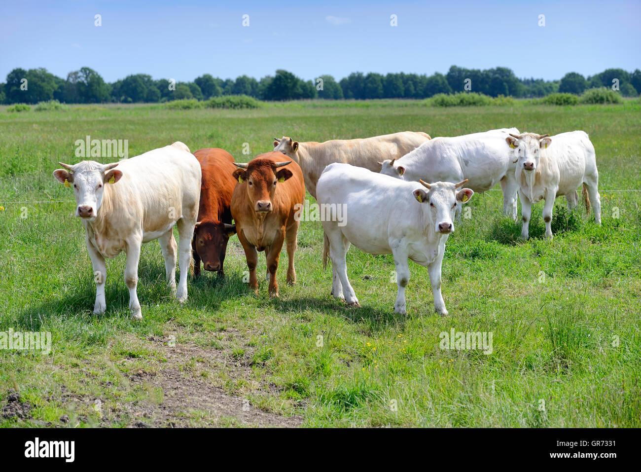 Cattle In Hamburg, Germany - Stock Image