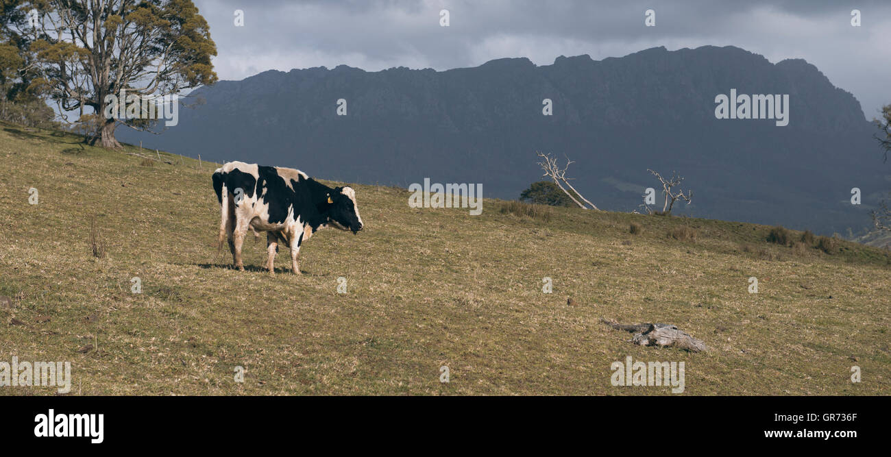 Holstein Fresian cow out in the paddock during the day in Tasmania, Australia - Stock Image