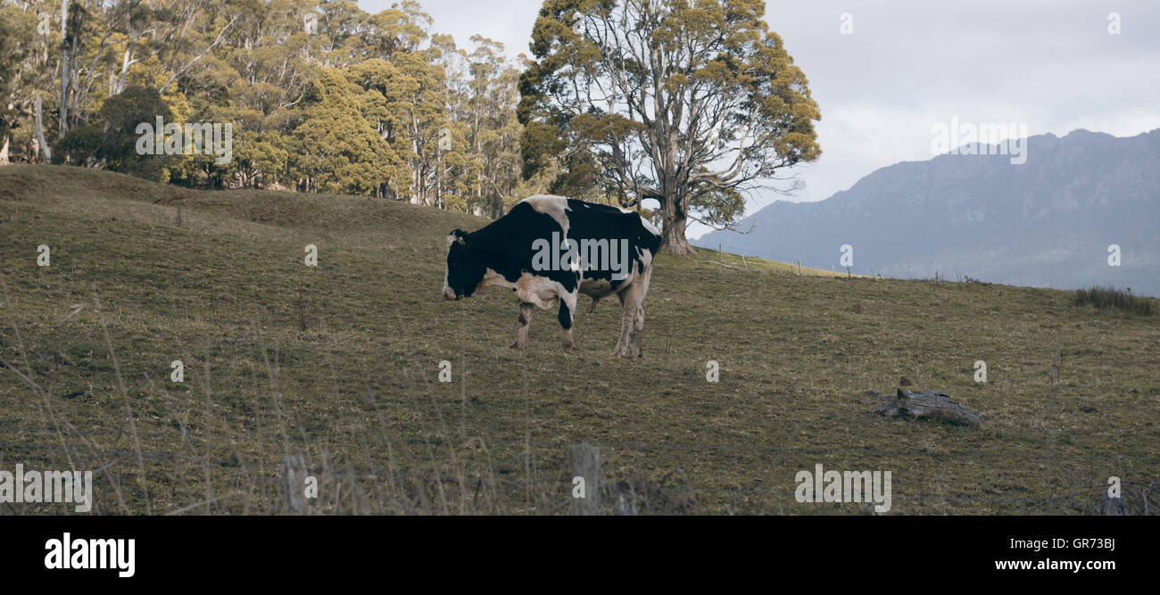 Holstein Fresian cow out in the paddock during the day in Tasmania, Australia. - Stock Image