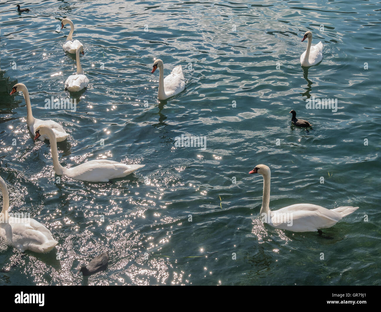 Swans at the lakeside of lake Iseo in Italy - Stock Image