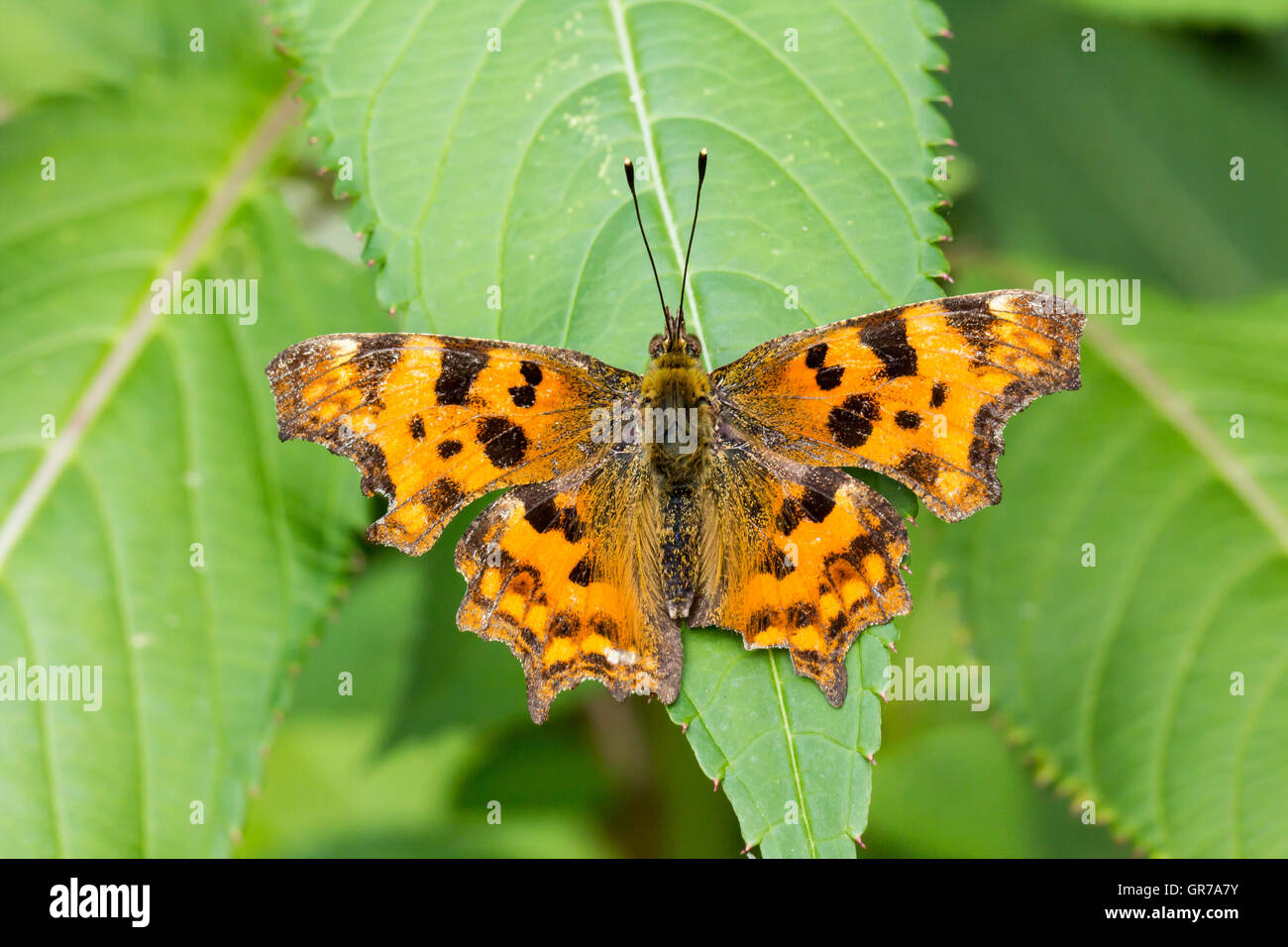 Nymphalis C-Album, Polygonia C-Album, Comma Butterfly From Germany - Stock Image