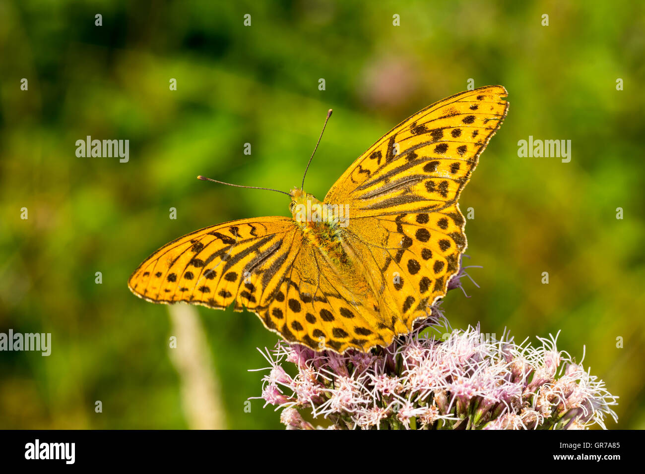 Argynnis Paphia, Silver-Washed Fritillary From Lower Saxony, Germany - Stock Image